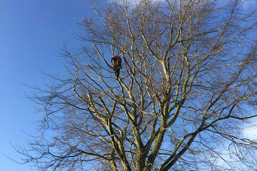 Crown Thinning Tree Surgery in Norfolk