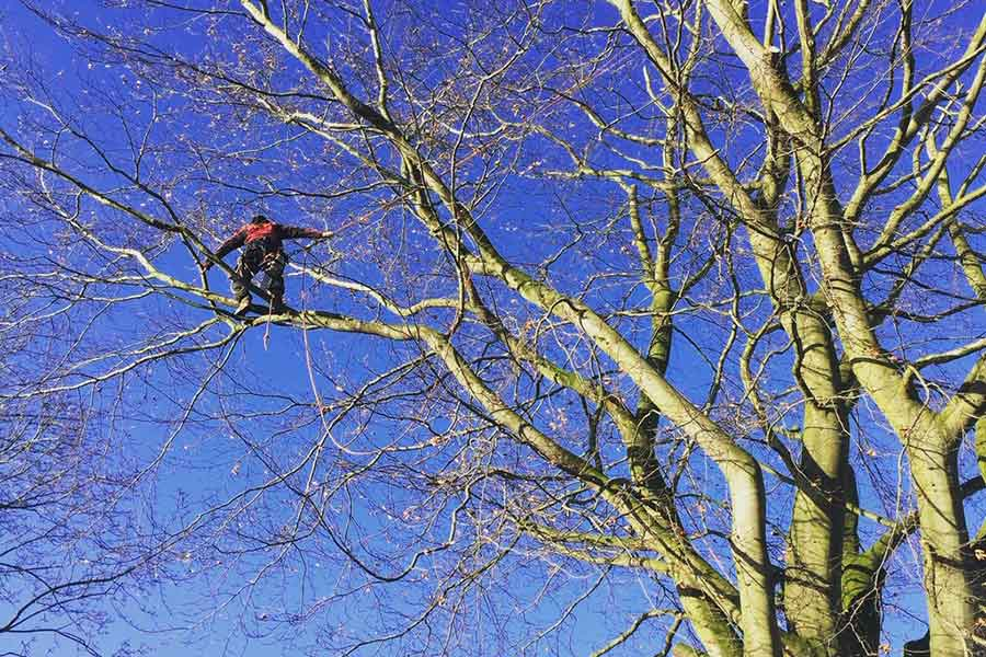 Norfolk tree surgery crown reduction